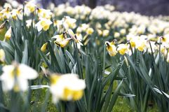 Flower bed. Of narcissus in spring royalty free stock photos