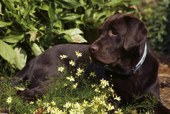 Flower Bed. Chocolate lab resting in a garden of yellow flowers Stock Photography