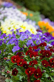 Flower bed. Bed of purple, yellow and red flowers Stock Photography