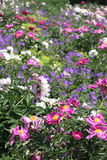Flower bed. Colorful flower bed in early summer Royalty Free Stock Images