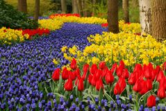 Flower bed. In springtime with bluebells, tulips and daffidols Royalty Free Stock Photo