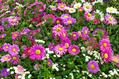 Flower bed of autumn flowers Stock Image