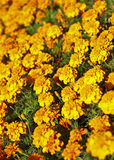Flower bed of beautiful marigold Royalty Free Stock Photo