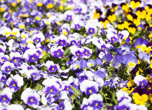 Flower bed bloom in the garden. Stock Photography