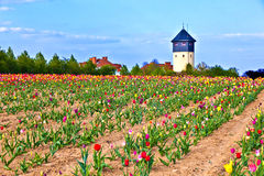 Flower bed with blooming colorful tulips Royalty Free Stock Photo