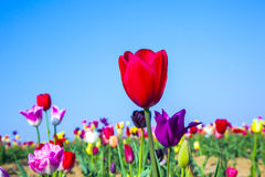 Flower bed with blooming colorful tulips Royalty Free Stock Photos