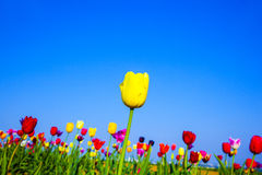 Flower bed with blooming colorful tulips Royalty Free Stock Image