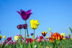 Flower bed with blooming colorful tulips Royalty Free Stock Images