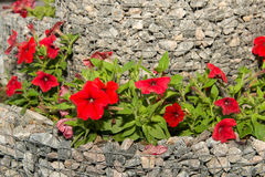 A flower bed of blooming petunias for the stones. Design solution for the design of flower beds. Royalty Free Stock Photography