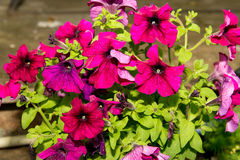 A flower bed of blooming petunias for the stones. Design solution for the design of flower beds. Royalty Free Stock Photos