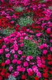 A flower bed of blossoming balsam in a city park royalty free stock photography