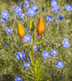 Flower bed with blue  linen  and saffron lily Royalty Free Stock Photography