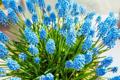 Flower bed with blue muscari flowers Europe Stock Photos