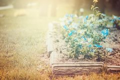 Flower bed with blue petunias. vintage toning. Flower bed with blue petunias. Lawn, vintage toning royalty free stock photo