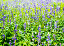 Flower bed of Blue Salvia. Small blue flowers stock photos