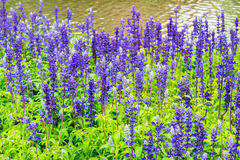 Flower bed of Blue Salvia. Small blue flowers royalty free stock photo