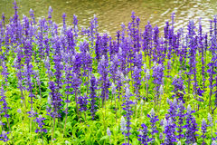 Flower bed of Blue Salvia. Small blue flowers stock photography