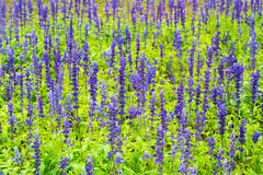 Flower bed of Blue Salvia. Small blue flowers royalty free stock image