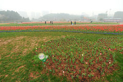 Tulips field  in botanical garden Royalty Free Stock Photography