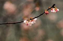 Peach flowers in botanical garden Royalty Free Stock Photography