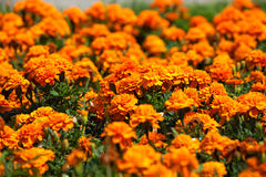 A flower bed of bright, fragrant, beautiful, orange, luxuriantly blooming marigolds growing in the garden under the open sky. In the open field. A plant with Royalty Free Stock Photos