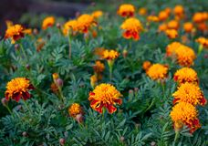 A flower bed of bright fragrant beautiful orange luxuriantly blooming marigolds growing in the garden stock photo