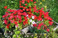 Flowerbed close-up many colors of red nasturtium stock images