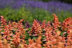 Flower bed. Colorful orange inflorescence flower in field Royalty Free Stock Photos