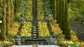 Flower bed of colourful tulips in spring. Colorful tulips in the Insel Mainau Deutschlands stock video