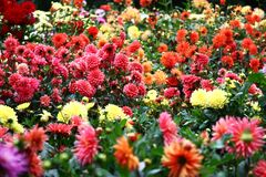 Garden a dahlias. In a flower bed a considerable quantity of flowers dahlias with petals in various colors Royalty Free Stock Photos