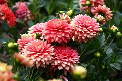 Pink dahlias. In a flower bed a considerable quantity of flowers dahlias with petals in various tones of pink color stock images