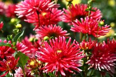 Red dahlias. In a flower bed a considerable quantity of flowers dahlias with petals in various tones of red color royalty free stock photography