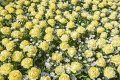 A flower bed with cream White Peony tulips mixed with white anemone Anemone Blanda stock image