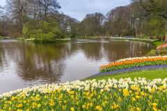 Daffodil flower bed of in the park at Keukenhof. Flower bed of white and yellow daffodil in the park at Keukenhof stock photo