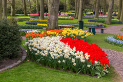 Flower bed of daffodil and red tulips in the park at Keukenhof stock image
