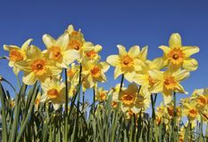 Flower Bed of Daffodils. Bright yellow and orange daffodils in a garden against blue skies royalty free stock photos