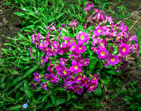 Flower bed with flowering primroses in the garden in the spring. Royalty Free Stock Photo