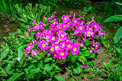 Flower bed with flowering primroses in the garden in the spring. Royalty Free Stock Photos