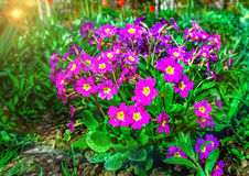 Flower bed with flowering primroses in the garden in the spring. Royalty Free Stock Image
