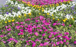 Flower bed with flowers. Pitunya Petunia sp, Pansies. stock photo