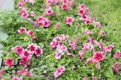 Flower bed with flowers. Pitunya Petunia sp, Pansies. royalty free stock photos