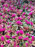 Celosia of a fuchsia color. Flower bed with fuchsia celosias, flower that are not afraid of cold weather royalty free stock photography