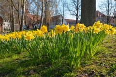 Flower bed full of daffodils in spring stock photos