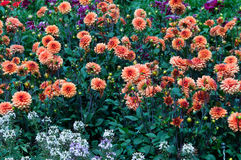 Flower bed full of dahlias Stock Image