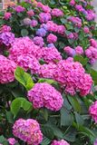 Flower bed full of purple hydrangea flowers and pink and blue Stock Photos