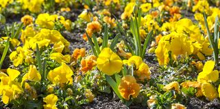 Flower bed of garden pansy Royalty Free Stock Images