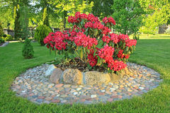 Flower bed in a garden. Pink rhododendron flowers in a garden royalty free stock photo