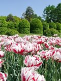 A flower bed with a huge number of red-and-white tulips against a background of trimmed green bushes. For your design royalty free stock image