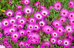 Flower bed of Ice plant. Beautiful background of pink iceplant flower Stock Image