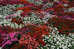 Flower bed of Impatiens Stock Image